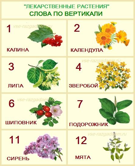 кроссворд лекарственные растения с ответами